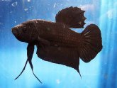 Black Crowntail Betta