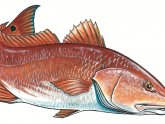 Blue and red fish names