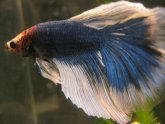 Blue butterfly, Betta