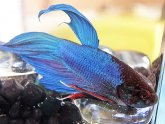 Chinese fighting fish life span