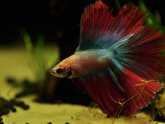 Female Crowntail Betta fish Care