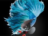 Fighting-Betta fish