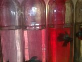 Fighting fish breeding tank