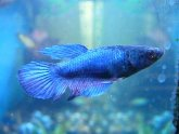 Fighting fish images