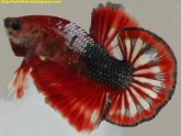 How to care Betta fish?
