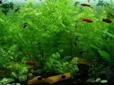 How to keep Siamese fighting fish?