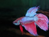 Malaysian fighting fish