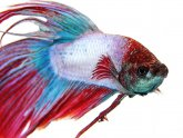 Siamese fighting fish diet