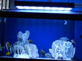 Siamese fighting fish habitat