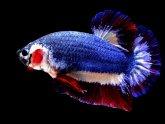 Thai fighting fish