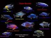 Types of Bettas