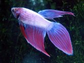 Types of Bettas fish