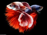 Vietnamese fighting fish