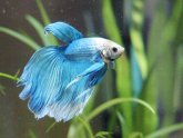 What can I feed my Betta?
