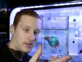Where do Siamese fighting fish come from?