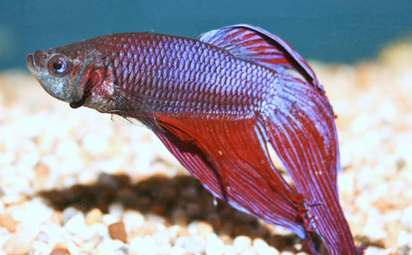 Japanese fighting fish lifespan