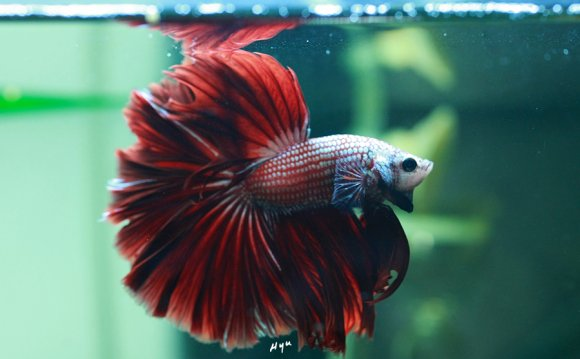 Most rare Betta fish