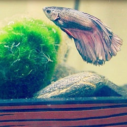 veiltail betta ready for breeding